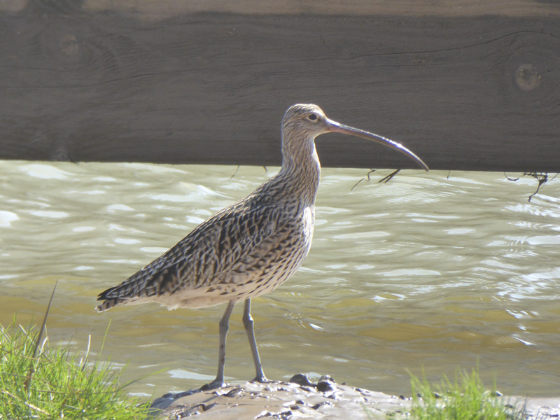 Curlew3