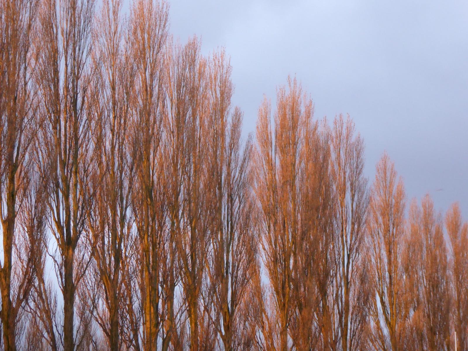 Sunset-on-the-poplars