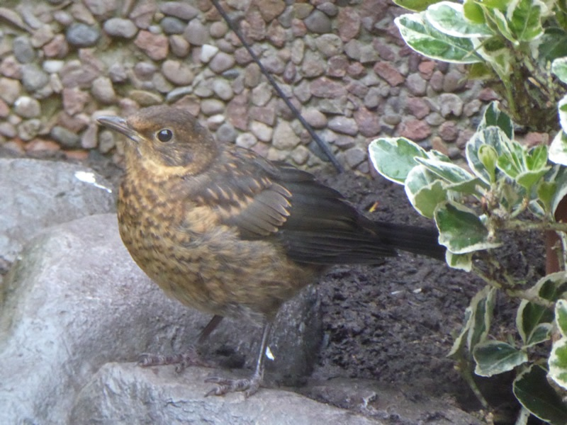 Mrs-Blackbird