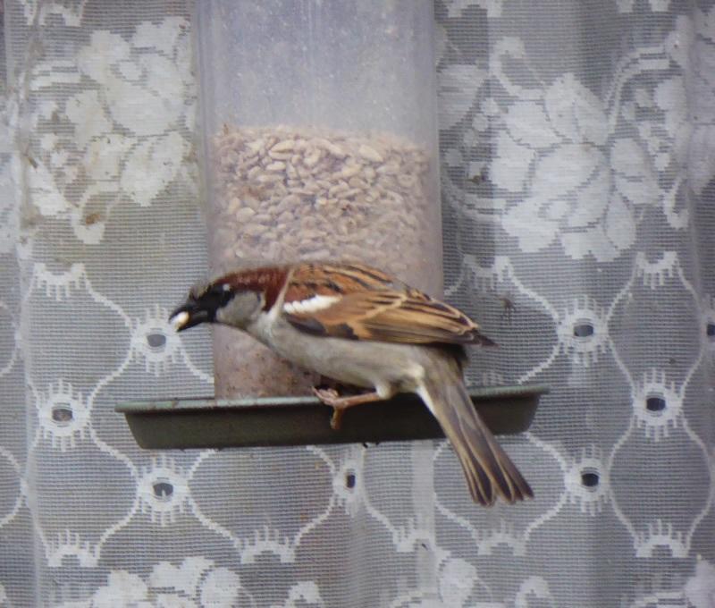 male-sparrow