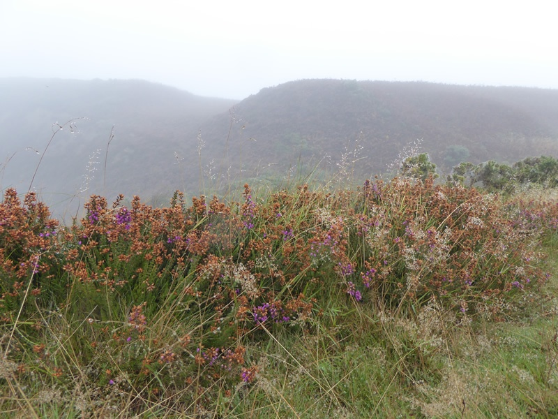 heather-on-boulby-cliff