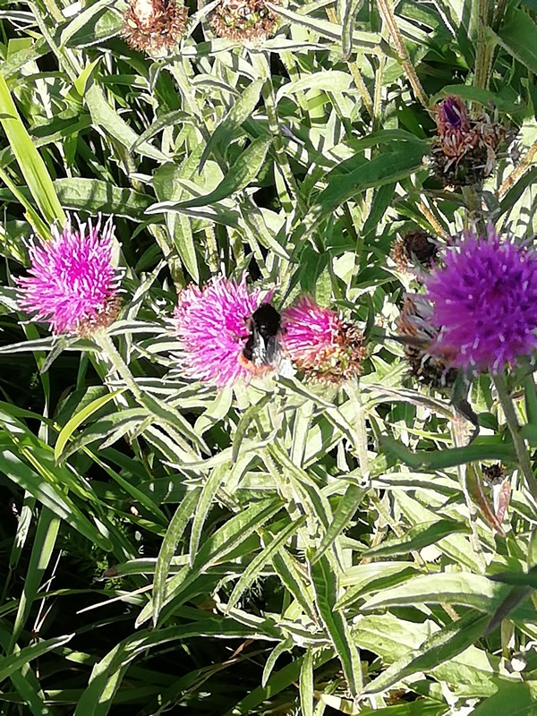bee-on-knapweed
